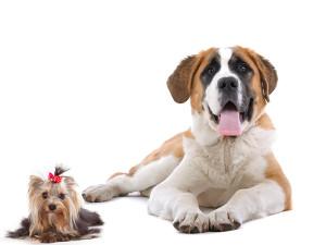 Największy i najmniejszy pies na świecie