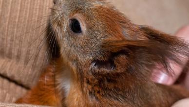 Jaki pokarm, akcesoria i dodatki wybrać dla wiewiórki?