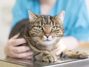 Jaka karma dla kota z chorymi nerkami?