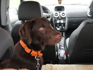 Jak przewozić psa i kota w samochodzie?