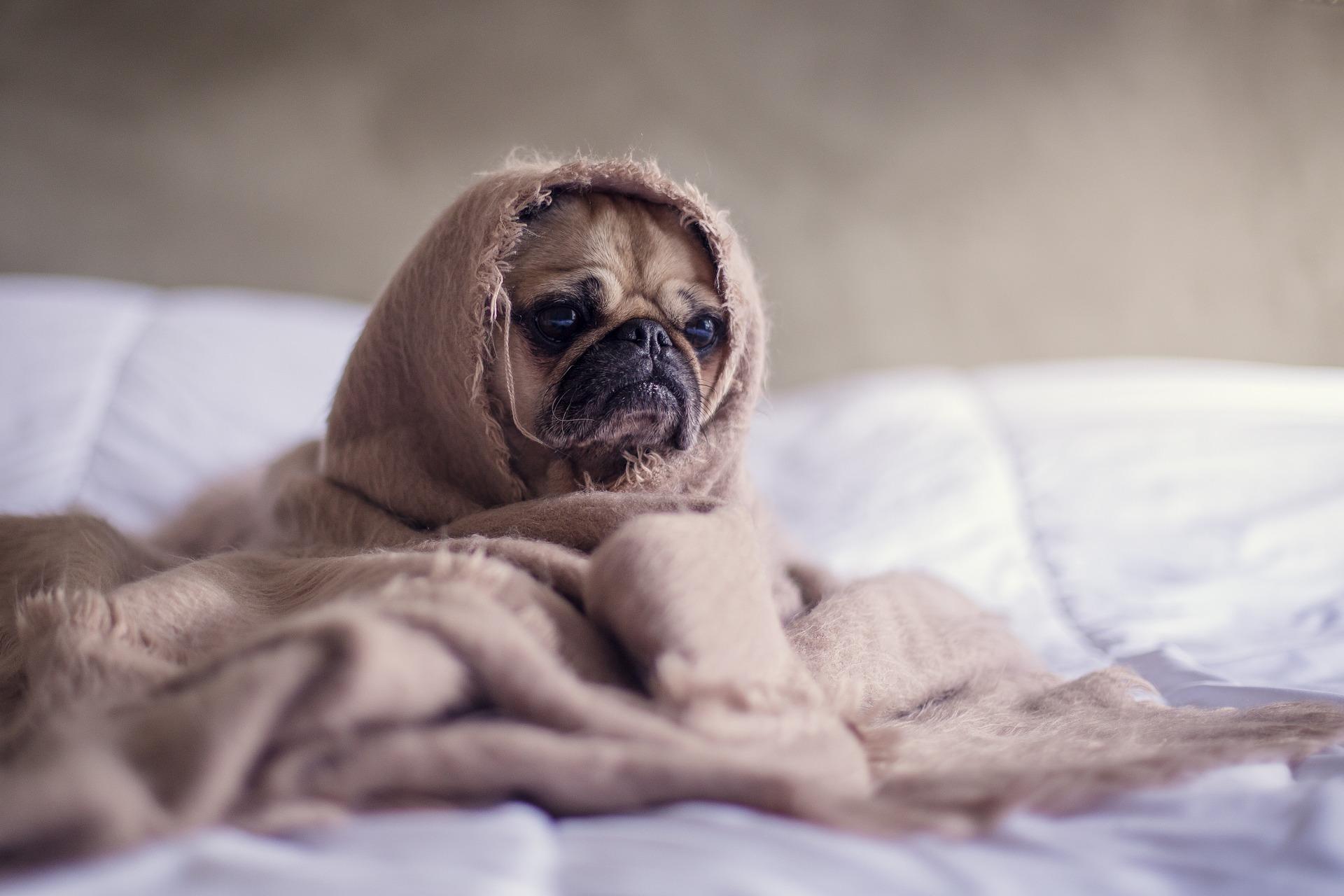 Mops na łóżku