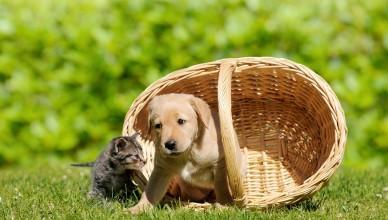 Pies z kotem w koszyku