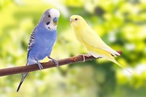 Opieka nad papużką fakty i mity