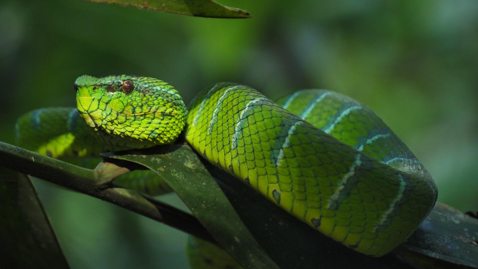 Wąż zielony