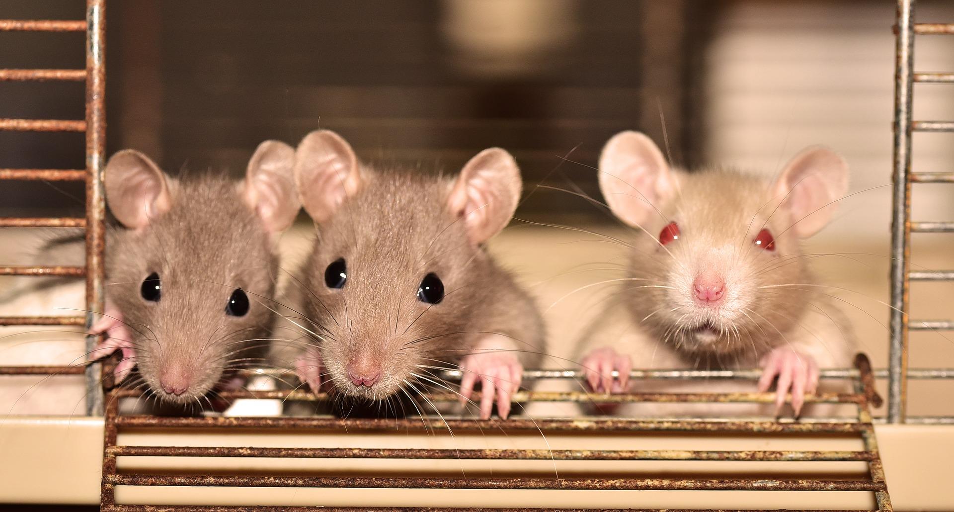 Klatka z szczurami