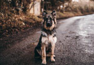 Jak udzielić pierwszej pomocy psu rannemu w wypadku drogowym?