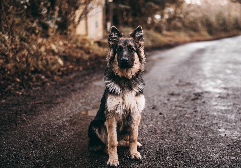 ranny pies