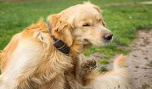 Jak chronić psa przed kleszczami?