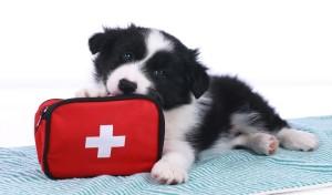Jak udzielić pierwszej pomocy zwierzętom?