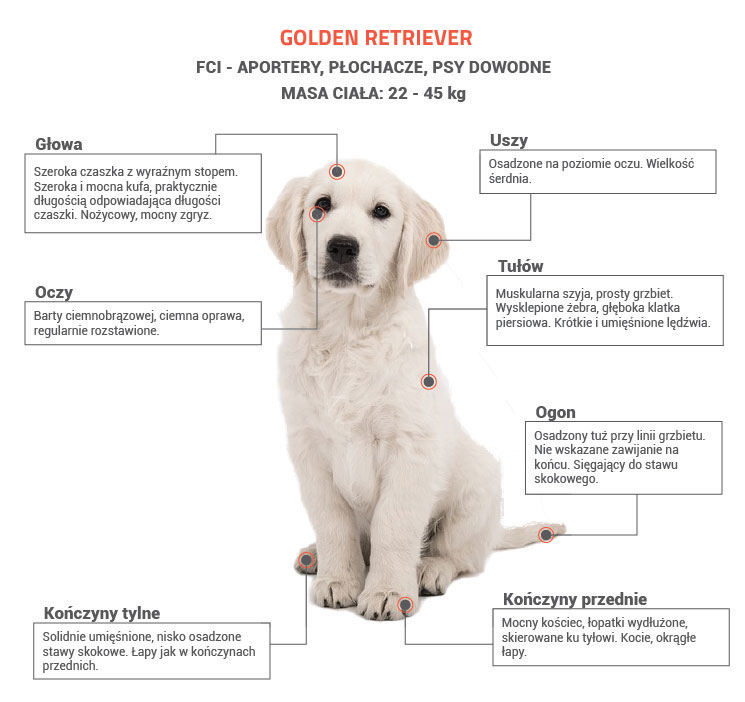 Golden Retriever opis rasy