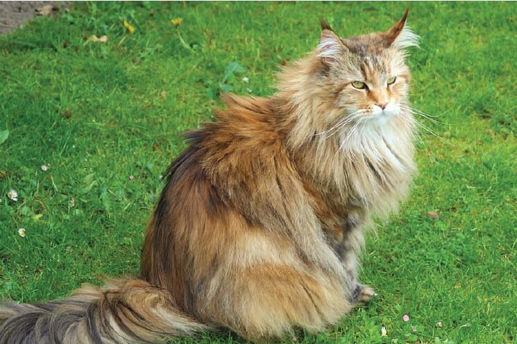 Kot syberyjski wzorzec