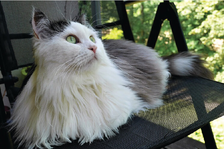 Hodowla kota syberyjskiego