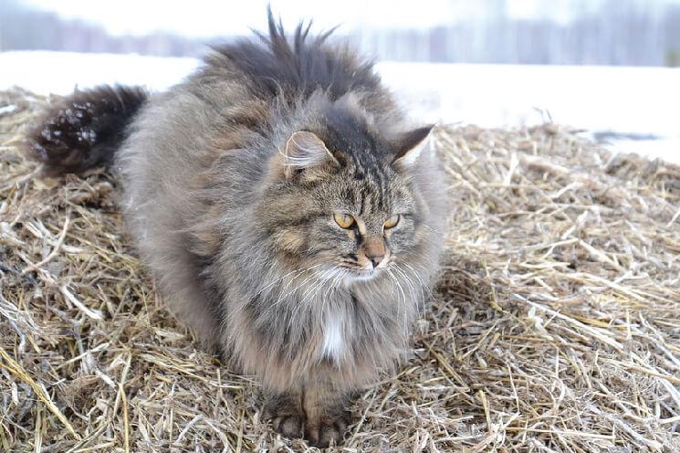 Charakter kota syberyjskiego