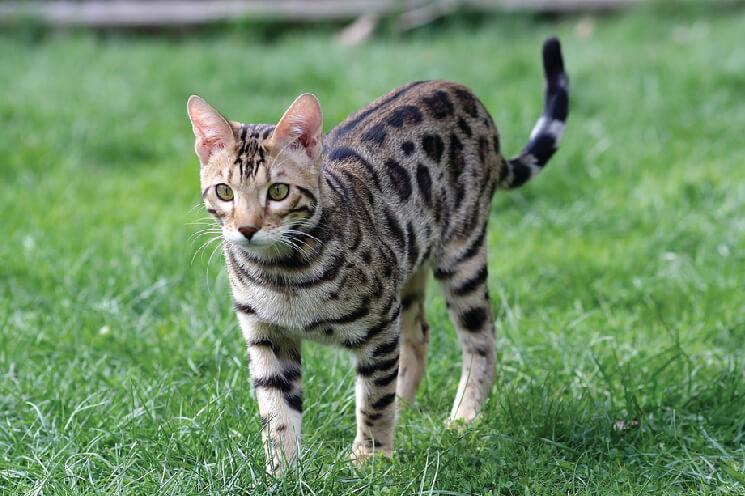 Hodowla kota bengalskiego