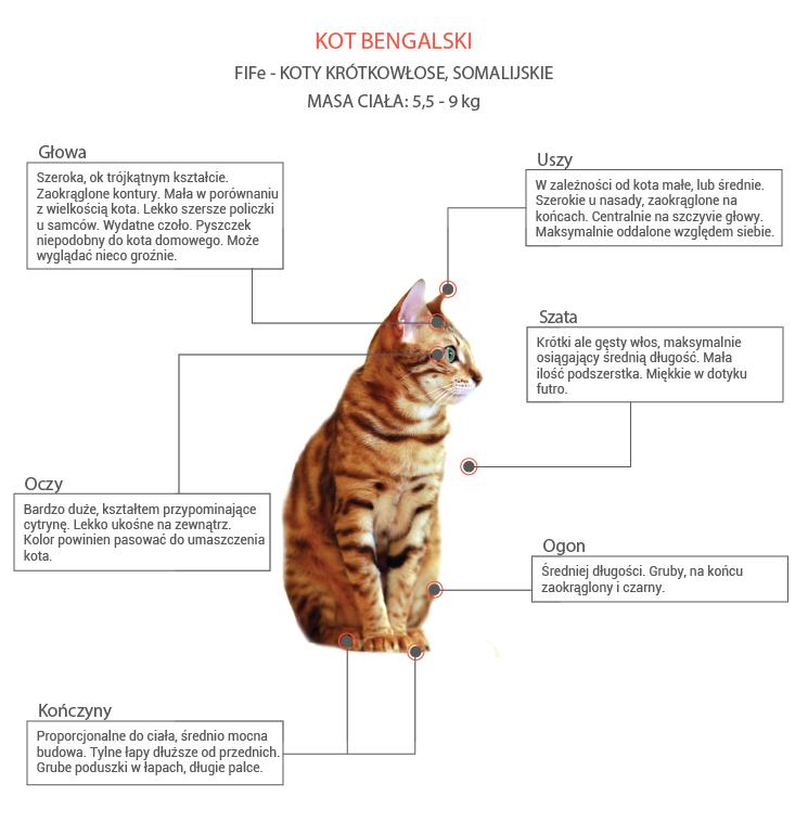 Zaawansowane Kot bengalski - cena, charakter, waga, hodowla XK35