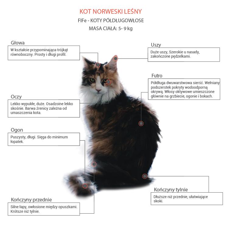 Kot norweski leśny opis rasy