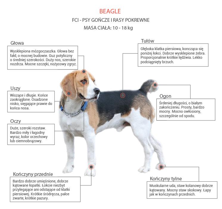 Beagle opis rasy