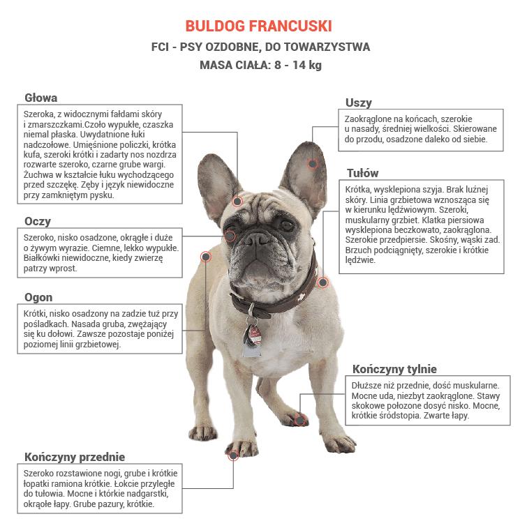 Buldog francuski opis