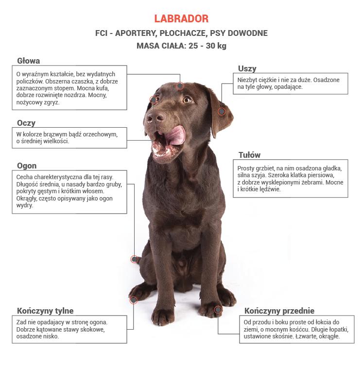 labrador opis rasy
