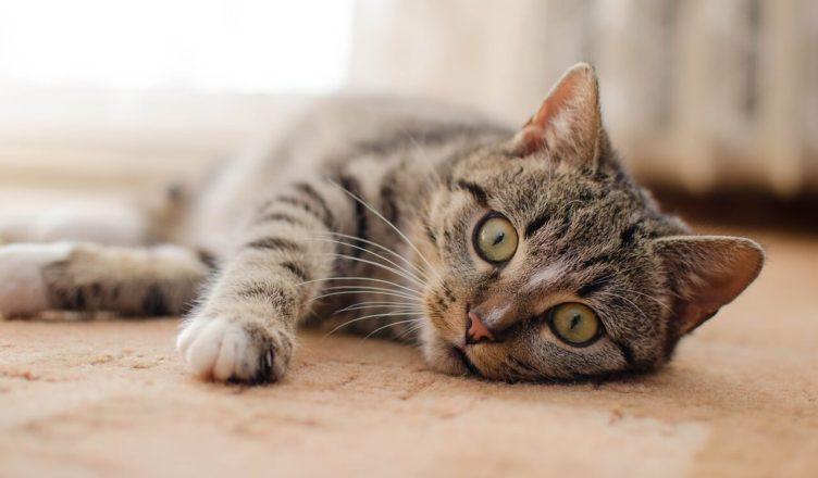 kot chory na cukrzycę