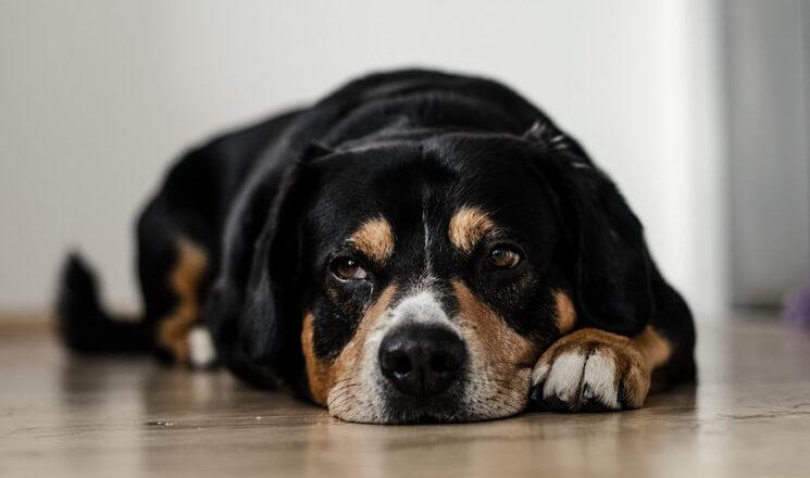 jak sprawdzić czy pies ma gorączkę