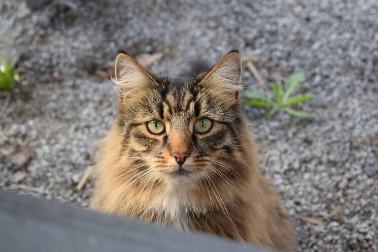 chrakter kota norweskiego