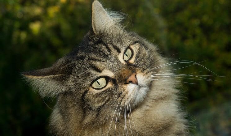 Kot Norweski Leśny Cena Charakter Hodowla Blog Krakvet