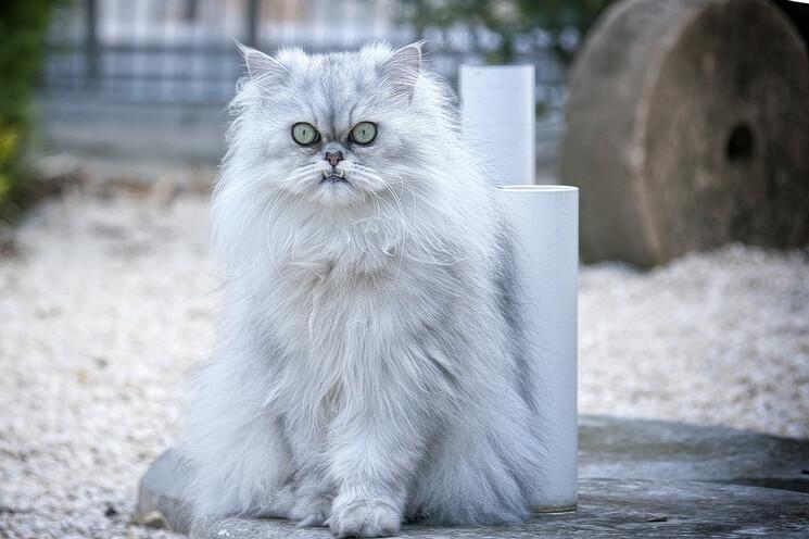Kot perski charakter