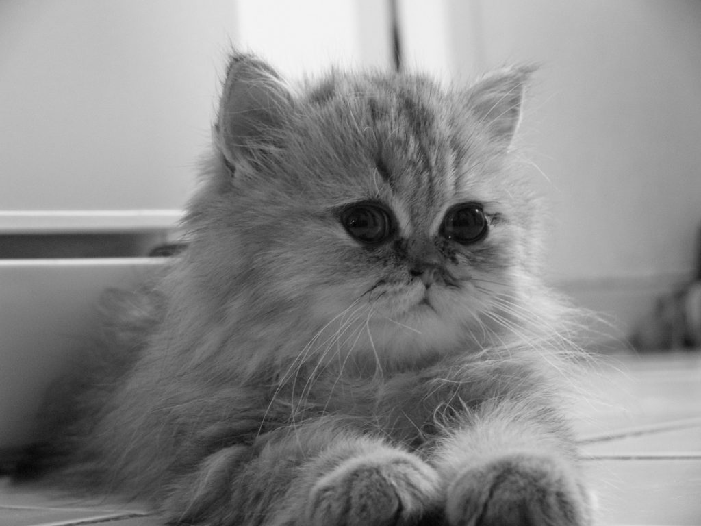 Kot perski szynszylowy