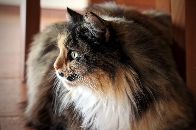 Kot Perski Cena Charakter Niebieski Biały Blog Krakvet