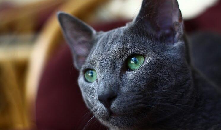 Kot rosyjski