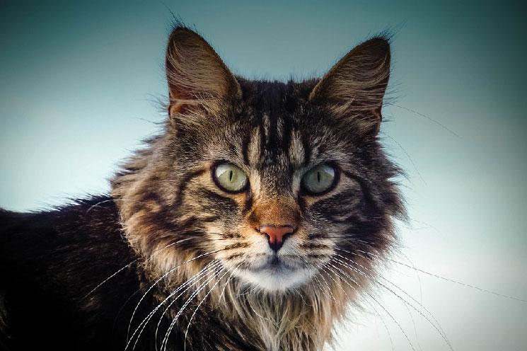 Wygląd kota rasy Maine Coona