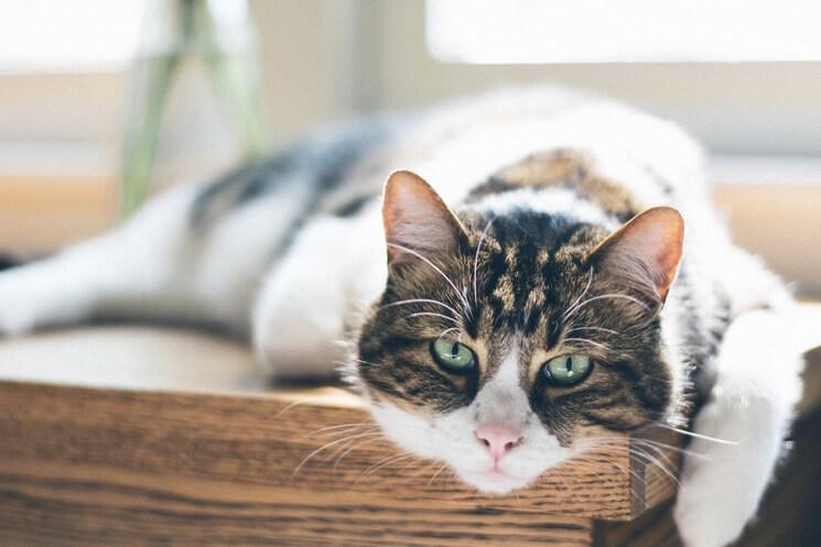 pierwsza ruja u kotki
