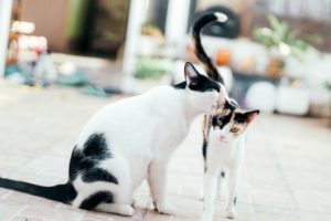 Ruja u kotki – ile trwa? Jakie są objawy?