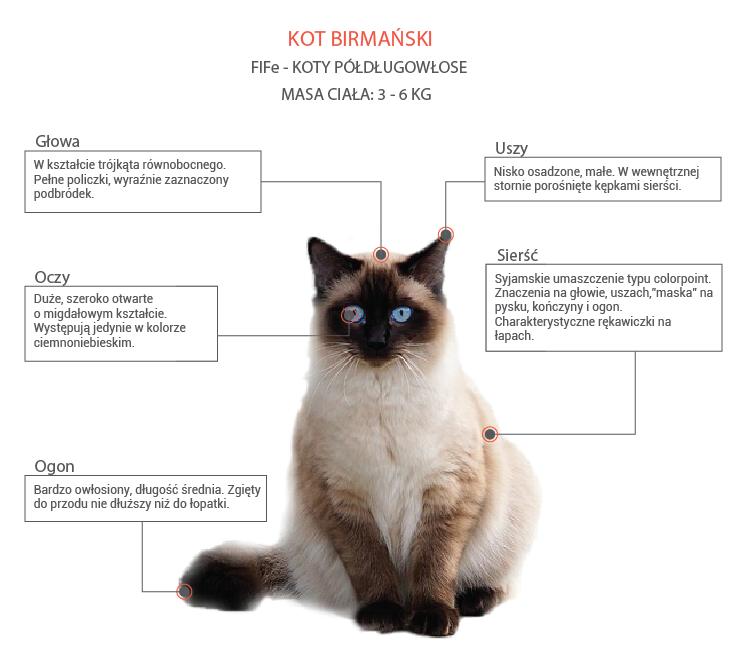 Kot birmański opis rasy