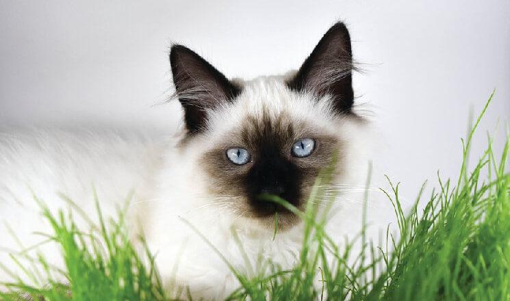 Kot Birmański Charakter Wzorzec Hodowla Blog Krakvetpl
