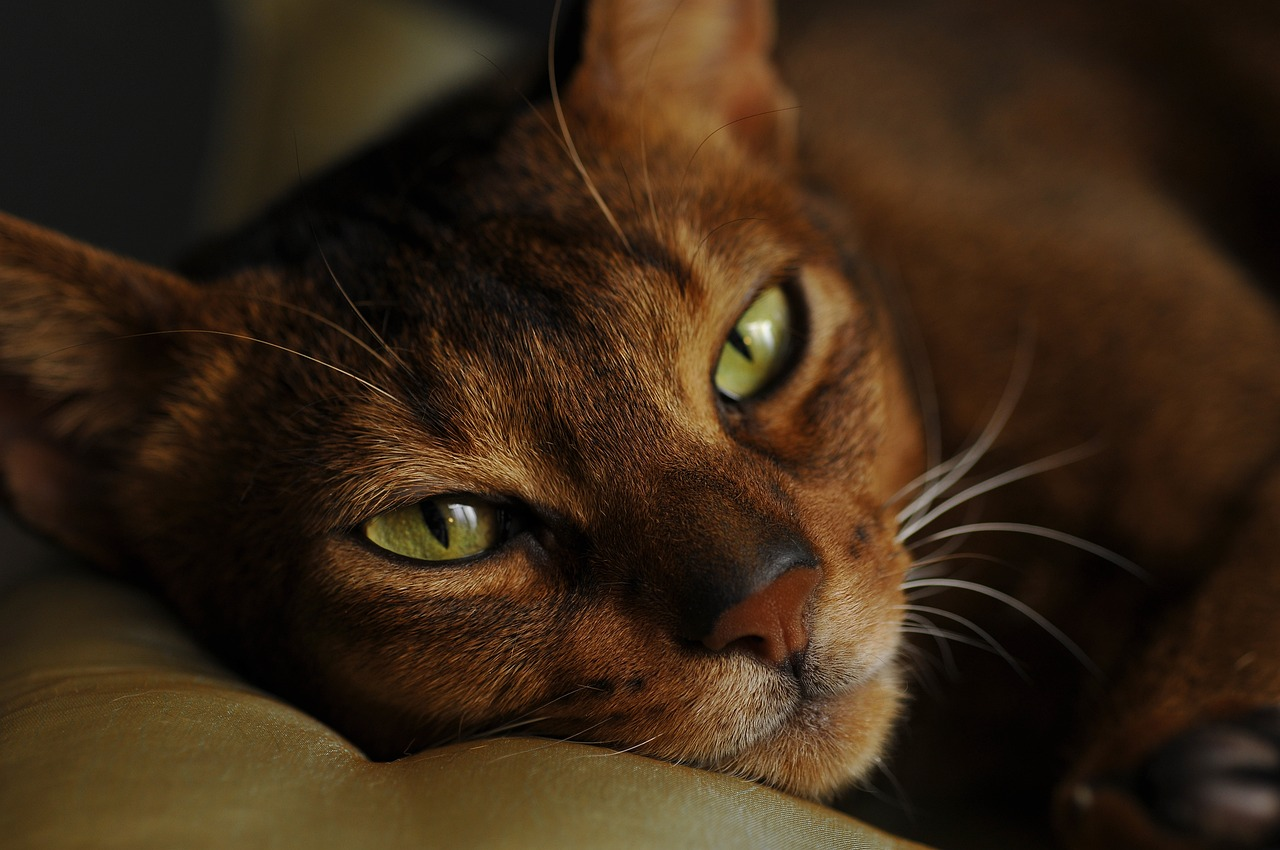 Kot Abisyński Wady I Zalety Choroby Ciekawostki