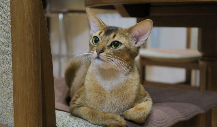Kot abisyński - ciekawostki