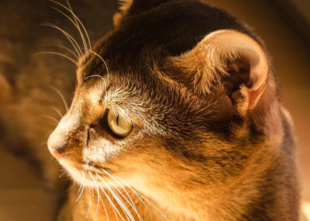 Kot abisyński - wzorzec