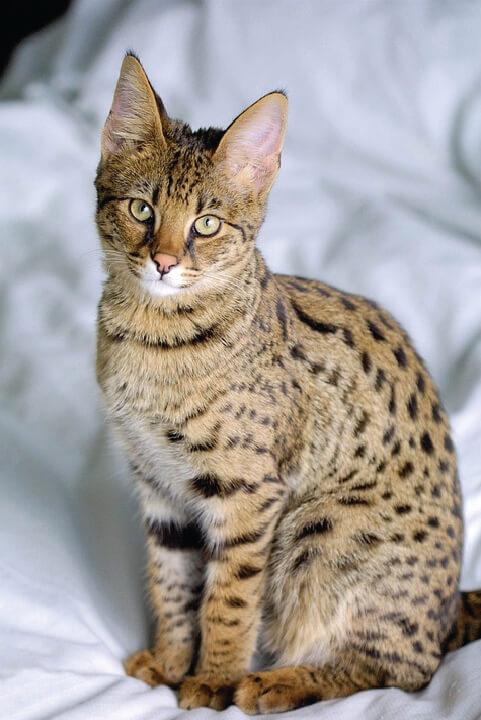 Kot savannah wielkość