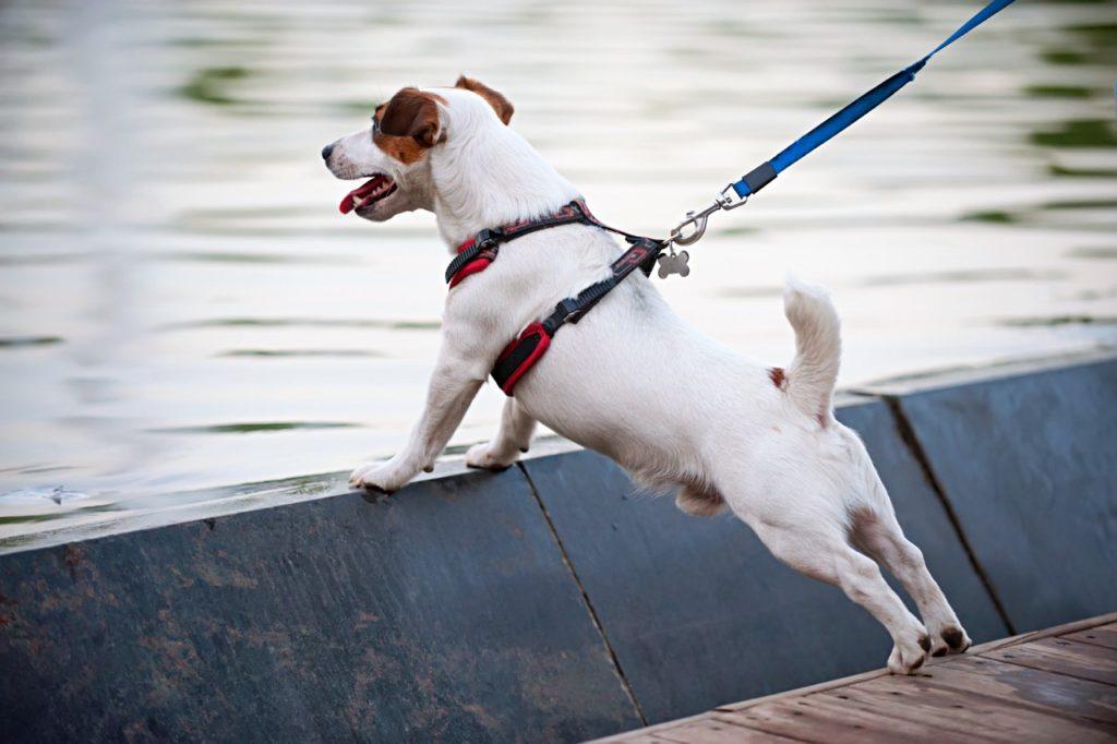 Pies w szelkach na brzegu rzeki