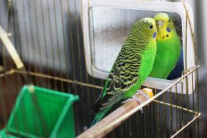 Wyprawka dla papużki falistej – kilka rzeczy, które na pewno nam się przydadzą