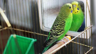 klatka dla papugi falistej
