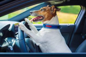 Pies i kot w samochodzie – cztery łapy w czterech kołach