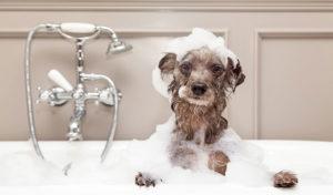 Jak często kąpać psa?