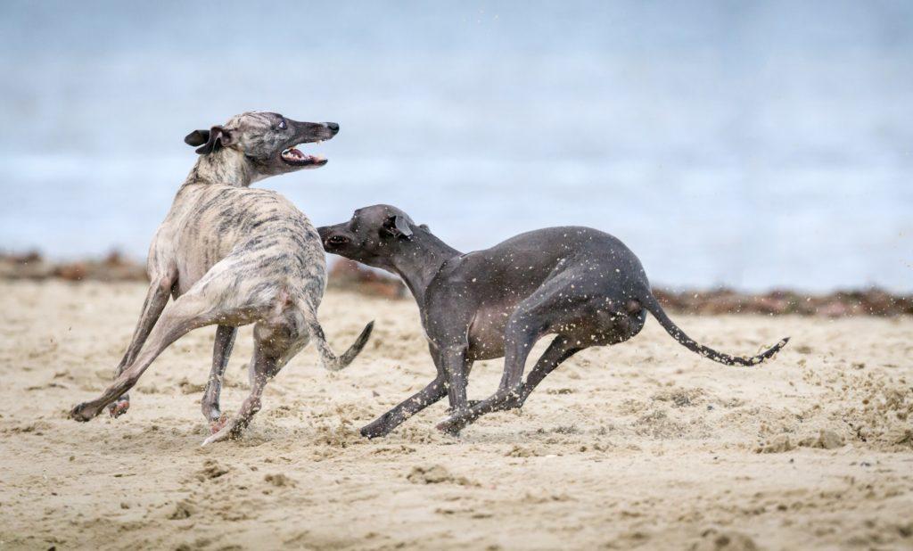 Zdjęcia psów - dwa psy biegające po plaży