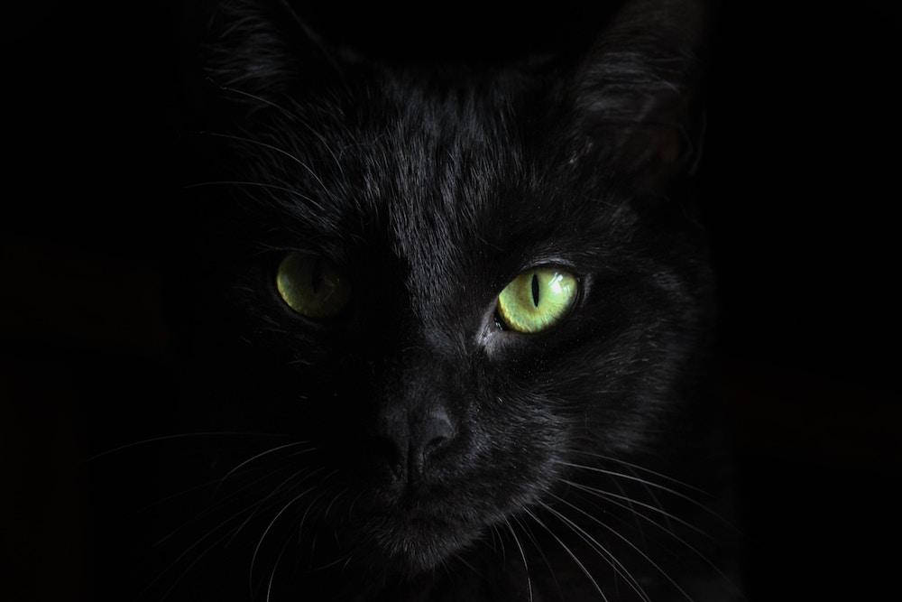 śmieszne koty - behemot