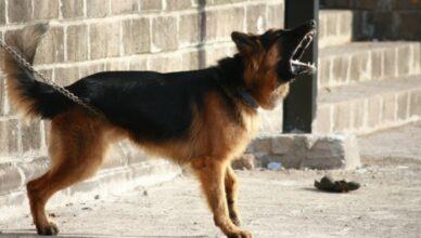 agresywne rasy psów