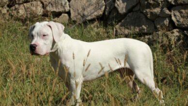 Dog argentyński – silny stróż i zwinny myśliwy