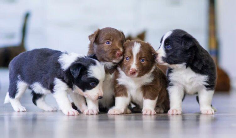jak założyc hodowlę psów rasowych